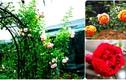 Mãn nhãn những khu vườn hoa hồng của đại gia Việt