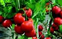 """Lạ đời cách trồng cà chua """"dễ hơn ăn kẹo"""", được cả vườn trĩu quả"""