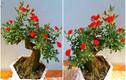 Chị em sốt xình xịch mua hồng bonsai sang chảnh về chưng Tết
