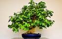 Cây cảnh Tết 2018: Rộ mốt mua bonsai trà xanh siêu độc