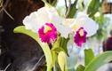 Mãn nhãn ngắm hoa lan Tết cực sang chảnh khoe sắc