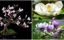 Chiêm ngưỡng bonsai hoa mộc lan làm say đắm lòng người