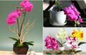 Ngắm hoa lan bonsai mini siêu đẹp trang trí nhà dịp Tết