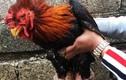 Gà Đông Tảo thuần chủng có gì hot mà khó mua ngày Tết
