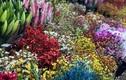 Cận Tết Tân Sửu: Hoa tươi Trung Quốc lấn át hoa Việt