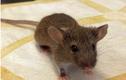 Huấn luyện chuột khổng lồ thành... chuyên gia dò mìn
