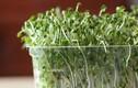 Cách trồng rau mầm tại nhà không lo ăn phải rau bẩn