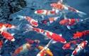 Cá Koi thả ở sông Tô Lịch sẽ ra sao?