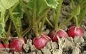 12 loại rau quả bị liệt vào danh sách đen, có hại cho người dùng