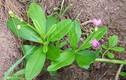 Trồng ngay cây sâm đất vừa hái rau ăn vừa làm thuốc vì lý do đặc biệt này