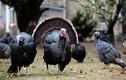 Cúm gia cầm H5N8 độc lực cao bùng phát ở Anh nguy hiểm ra sao?