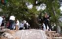 Chiêm ngưỡng cây Dã Hương nghìn năm tuổi ở Bắc Giang