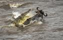 Linh dương đầu bò đánh lừa thần chết, thoát cá sấu ngoạn mục