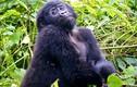 Ảnh động vật: Khỉ đột tạo dáng, cú nhỏ nháy mắt...