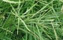 Bất ngờ tác dụng của loài cỏ mọc dại được ví là thần dược ở VN