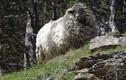 Bốc mùi tởm lợm, cừu hoang dã thoát chết vì đến sói cũng chê