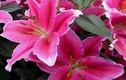 """Cảnh giác với những loại hoa ngày Tết đẹp nhưng """"độc"""""""