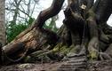 """Bí ẩn cây sồi cổ bị xiềng xích vì """"lời nguyền chết chóc"""""""