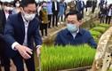 Bí thư, Chủ tịch Hà Nội xuống ruộng cấy lúa cùng nông dân