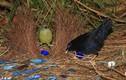 """Loài chim có biệt danh """"Thánh tán gái"""" của vương quốc động vật"""