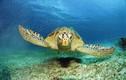 """Rùa """"khủng"""" sa lưới ở Huế: Siêu quý hiếm dân thả về biển ngay?"""