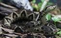 """Nọc rắn độc Brazil ức chế """"ngon"""" virus SARS-CoV-2 thế nào?"""