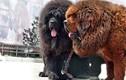 Đã mắt 10 giống chó đắt đỏ sang chảnh nhất hành tinh