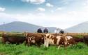 """Đức Long Gia Lai """"lấn sân"""" chăn nuôi bò sữa dù kinh doanh thua lỗ"""