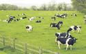 Vilico lên phương án sáp nhập GTNFoods, tham vọng làm trang trại bò