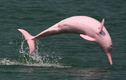 """Cá heo hồng quý hiếm """"tung tăng"""" biển Việt Nam: Điềm báo may mắn?"""
