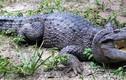 Phát hiện cá sấu mới cực hiếm ở hòn đảo bí ẩn