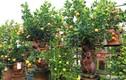 """""""Chuột cõng quất bonsai"""" giá cả triệu mỗi cây, hút khách dịp Tết Canh Tý"""