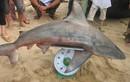 Bình Định tiếp tục nghiên cứu loại cá mập… cắn người