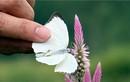 Đừng cho trẻ bắt bướm bay vào nhà, nguy hiểm