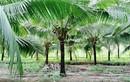 """Siêu thị nước ngoài đặt mua 10 triệu trái dừa/năm, tìm """"mỏi mắt"""" không đủ"""