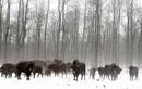 Vương quốc động vật hoang dã ở vùng phóng xạ Chernobyl