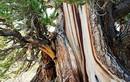 Những cây cổ thụ nhiều tuổi nhất thế giới