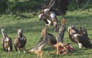 Nín thở xem loạt khoảnh khắc kền kền đọ hàm chó rừng