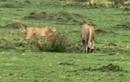 Báo đốm mưu trí bảo vệ đàn con khỏi miệng sư tử