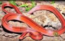 """Điểm mặt các loài rắn... """"đẹp từ trong ra ngoài"""""""