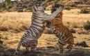 Hổ giao chiến kịch liệt giành lãnh thổ