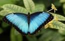 Phát hoảng với thói quen ăn uống khủng khiếp của loài bướm
