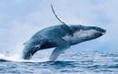 Sự thật gây sốc về loài cá voi ít ai biết