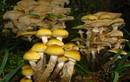 Khám phá sửng sốt về loài nấm khổng lồ nặng hàng trăm tấn
