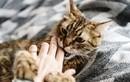 Mèo nuôi liên tục dụi vào người, mẹ bầu tá hỏa phát hiện bệnh hiểm