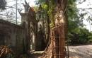Ly kỳ cuộc chiến bảo vệ những gốc cây trăm tỷ đồng của nông dân