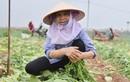 Người dân Hà Nội nhổ bỏ hàng trăm tấn củ cải vì không bán được
