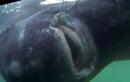 """Bắt được """"quái vật"""" cá mập 200 tuổi, nặng gần 600kg"""