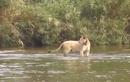 Clip sư tử cái phát điên vì bị cá sấu ăn mất con