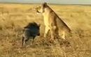 Clip: Lợn lòi liều mạng tấn công sư tử